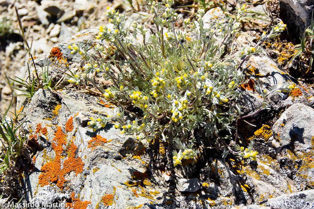Artemisia genipi